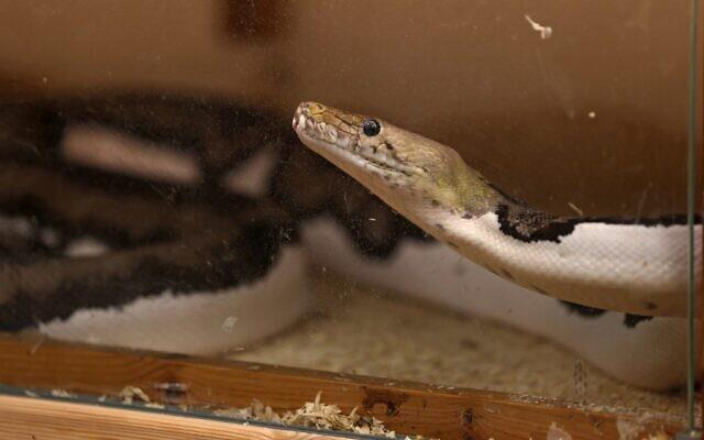 Un python réticulé appartenant à Faiçal Malaikah, dans son habitation de la station balnéaire de Jeddah, sur la mer Rouge, le 16 septembre 2021. (Crédit : Fayez Nureldine / AFP)