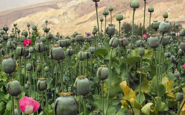 Un champ de pavot en Afghanistan. (Crédit : davric / Domaine public)