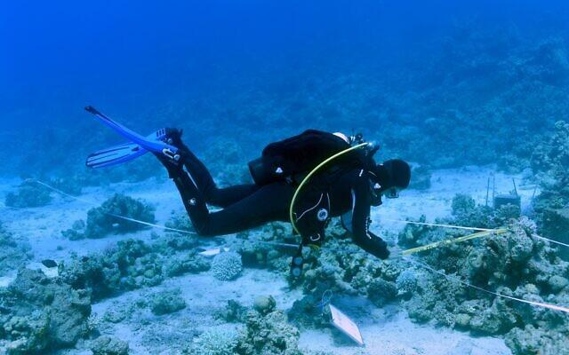 Mesure des coraux pour l'étude nationale de surveillance du golfe d'Eilat en 2020. (Crédit : Inbal Ayalon, Institut interuniversitaire des sciences marines, Eilat)
