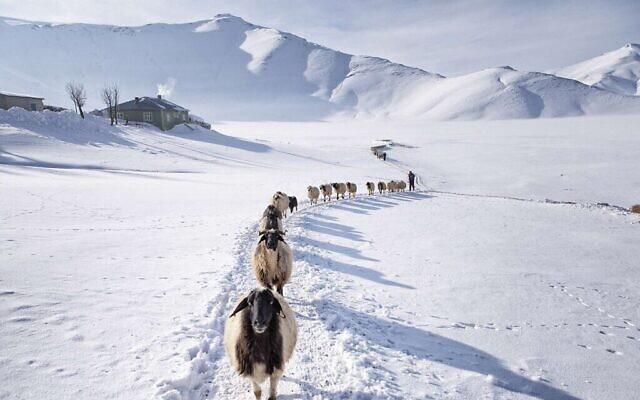 Les moutons sont nourris en plein air deux fois par jour en hiver. Uzuntekne, Van, février 2017, dans le cadre de l'exposition Photomenta qui ouvrira ses portes le 21 septembre 2021 au Musée d'Eretz Israël (Avec l'aimable autorisation de Nadir Bucan)