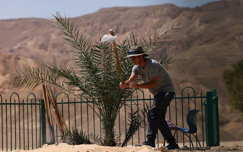 """Un ouvrier du kibboutz travaille le sol où """"Judith"""", un palmier femelle germé à partir de graines vieilles de 2 000 ans découvertes dans le désert de Judée, a été transplanté, au kibboutz Ketura, dans le sud d'Israël, le 27 septembre 2021. (Crédit : Emmanuel DUNAND / AFP)"""