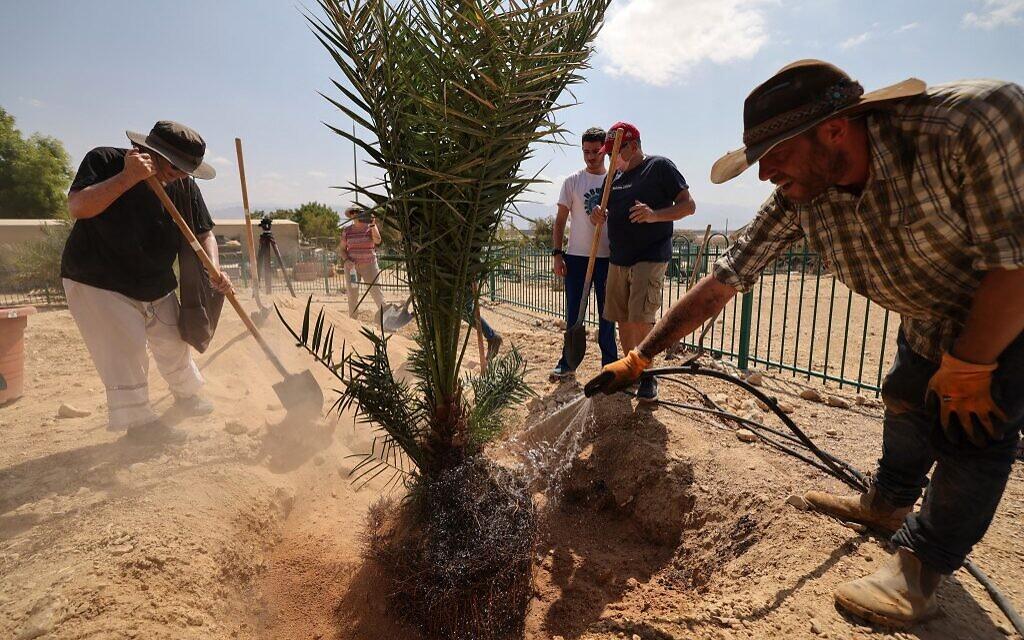 """La scientifique israélienne Sarah Sallon (à gauche) et un travailleur du kibboutz transplantent dans le sol du désert du Néguev """"Judith"""", un palmier femelle cultivé à partir de graines vieilles de 2 000 ans découvertes dans le désert de Judée, au kibboutz Ketura dans le sud d'Israël, le 27 septembre 2021. (Crédit : Emmanuel DUNAND / AFP)"""