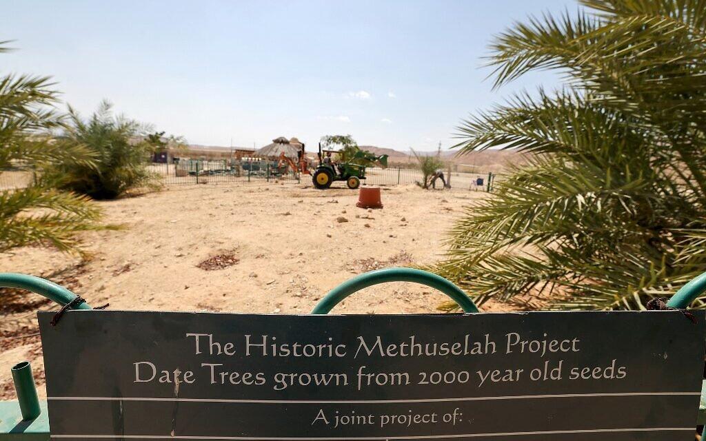 """""""Judith"""", un palmier femelle germé à partir de graines vieilles de 2 000 ans découvertes dans le désert de Judée, a été transplanté, au kibboutz Ketura, dans le sud d'Israël, le 27 septembre 2021. (Crédit : Emmanuel DUNAND / AFP)"""