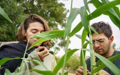 Deux étudiants israélien et palestinien travaillent sur l'agriculture durable dans le cadre d'un programme universitaire d'un semestre à l'Institut Arava d'études environnementales. (Crédit : Marcos Schoenholz)