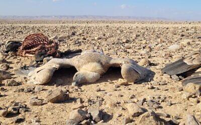 Des vautours morts dans le désert de Judée suite à ce qui serait, selon l'Autorité de la nature et des parcs, un empoisonnement malveillant, le 24 octobre 2021. (Crédit : Eyal Ben Giat, INPA)