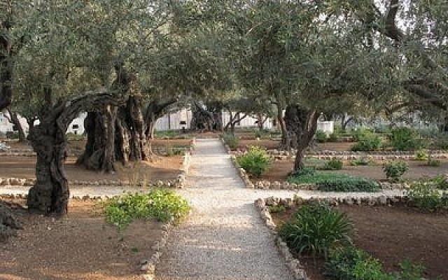 Gethsemane Olives