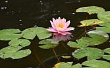 """Water lilies float in the headwaters of the """"River Jordan"""" in Rodef Shalom Congregation's Biblical Botanical Garden. (Photo by Geoffrey W. Melada)"""