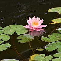 "Water lilies float in the headwaters of the ""River Jordan"" in Rodef Shalom Congregation's Biblical Botanical Garden. (Photo by Geoffrey W. Melada)"