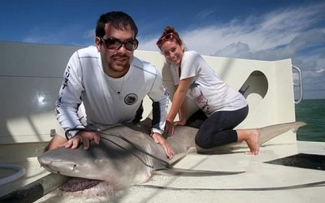 David Shiffman restrains a lemon shark for a research workup in the Everglades. (Photo by Christine Shepard)