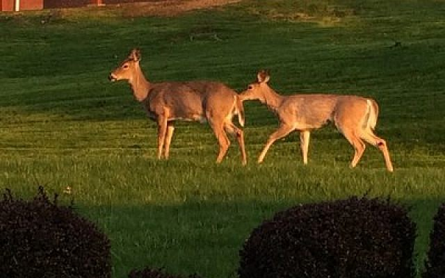 Mt. Lebanon residents can't seem to agree on fate of area's large deer population.  Photo by Toby Tabachnick