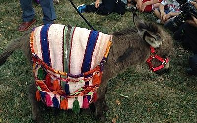 The donkey before for the pidyon petter chamor ceremonyPhoto by Lori Samlin Miller
