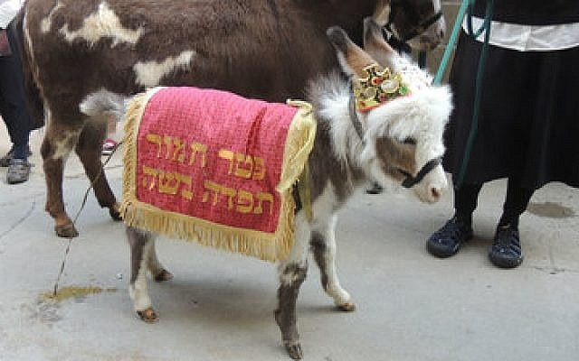 A decorated donkey parades in a pidyon petter chamor ceremony in Detroit in 2014.	 (Photo by Lori Wargo)