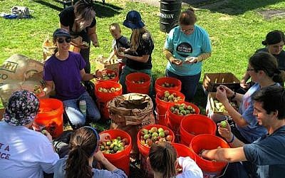 Jewish volunteers help non-Jews harvest apples for Hidden Harvest. (Photo provided by Zack Block)