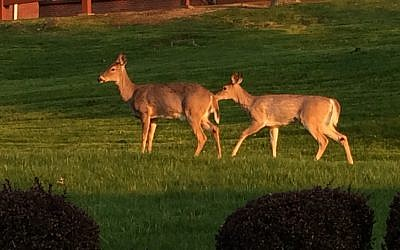 Two deer roam a backyard in Mt. Lebanon. (Photo by Toby Tabachnick, PJC)
