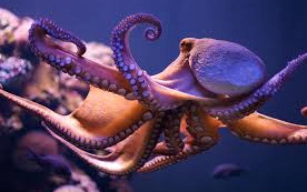 Octopuses: knot to be messed with.