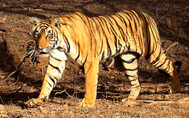 A bengal tiger, like the one being rescued from Gaza zoo