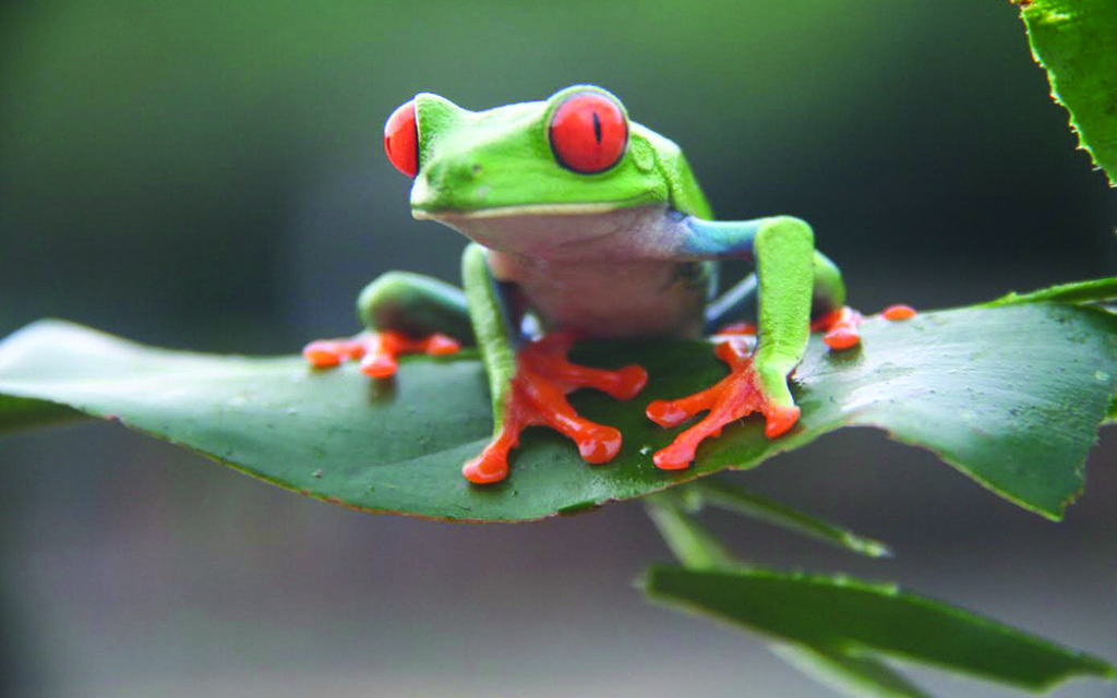 A red eyed frog (Credit: Nick Redmayne)