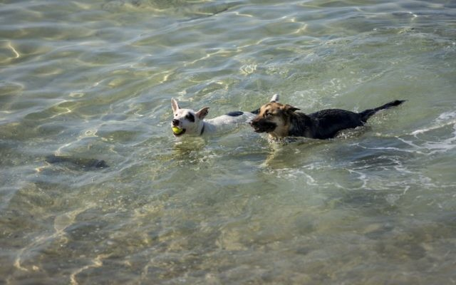 Dogs in Tel Aviv enjoy the warm Mediterranean sea, in one of the world's most dog-friendly cities (Photo credit: Kfir_Bolotin)