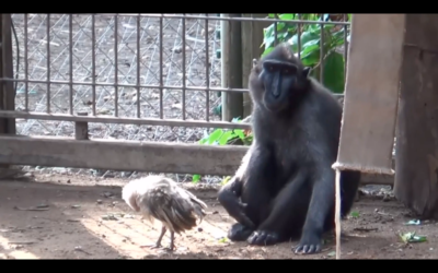 Niv the monkey with his feathered friend