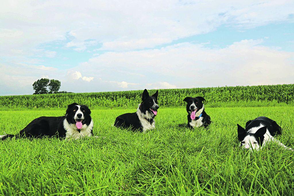 Team dogs