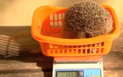 An overweight Hedgehog goes on the scales