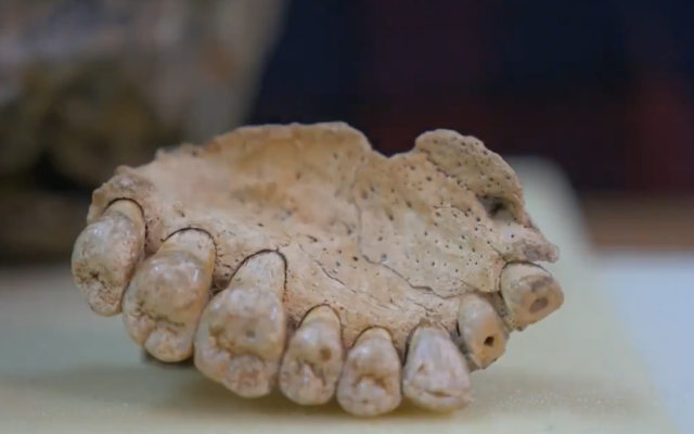 Jawbone fossil shown at Tel Aviv University, in a video posted by @IsraelinUSA on Twitter