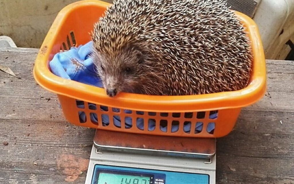Sherman the hedgehog at his latest weigh-in