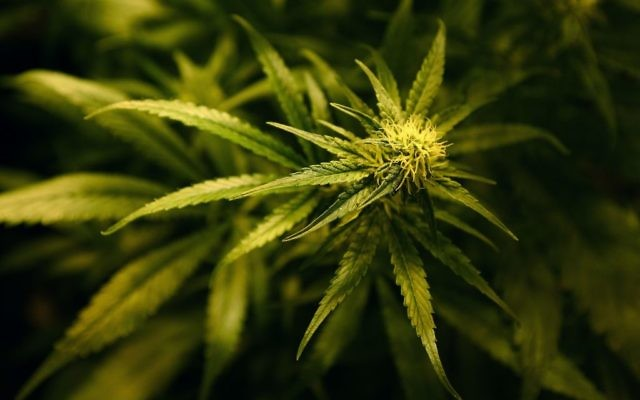Cannabis plants.   Photo credit: Gareth Fuller/PA Wire