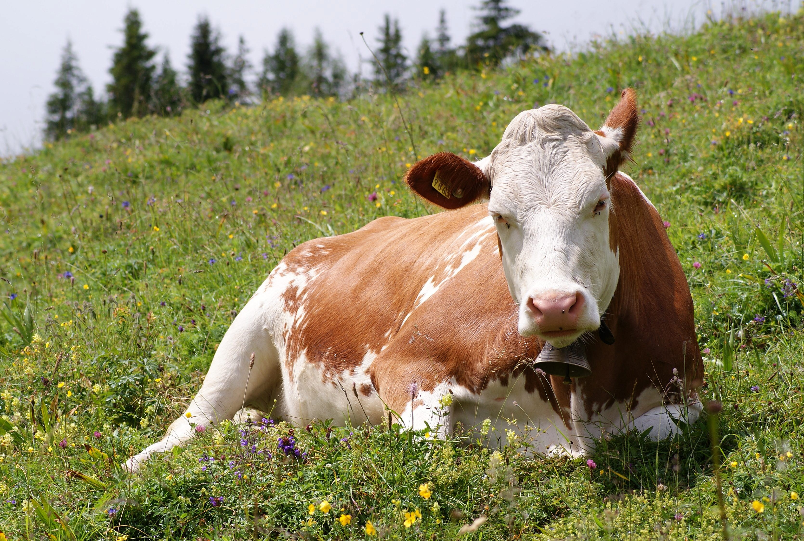 European Union states can mandate stunning animals for slaughter: ECJ