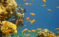 Diving in red sea by the Coral. (Wikipedia/Lehava Center Dimona)