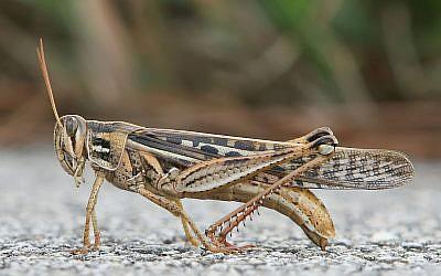 American Bird Grasshopper (Wikipedia/http://www.birdphotos.com)