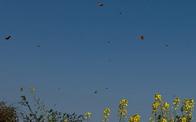 The migration of butterflies is at its peak in Israel, with millions passing through the skies. Photo: Ayal Margolin-JINIPIX