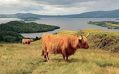 Highland cattle graze above Loch Lomond