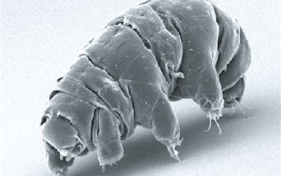 Tardigradum (Wikipedia/Schokraie E, Warnken U, Hotz-Wagenblatt A, Grohme MA, Hengherr S, et al. (2012))