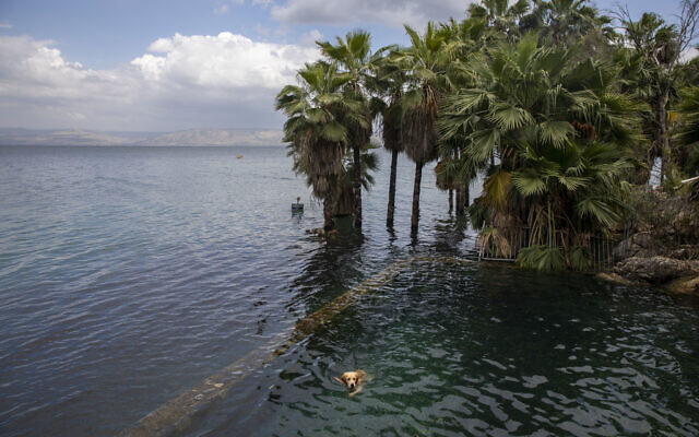 A dog swims in the water as trees stand where dry land was in the Sea of Galilee, locally known as Lake Kinneret. After an especially rainy winter, the Sea of Galilee in northern Israel is at its highest level in two decades, but the beaches and major Christian sites along its banks are empty as authorities imposed a full lockdown. (AP Photo/Ariel Schalit)