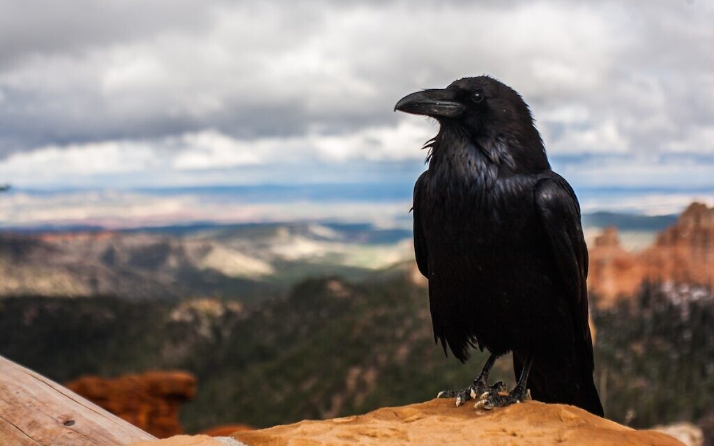 Crow (Photo by Tyler Quiring on Unsplash)