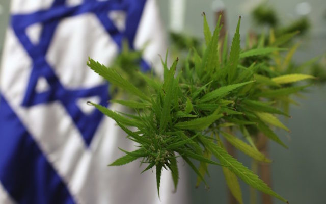 A cannabis plant was brought to the Knesset in 2009 for the Labor Welfare and Health Committee, which was addressing the issue of medical marijuana. (Kobi Gideon/Flash 90)