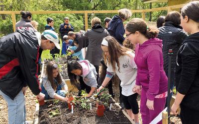 Student volunteers work in Shomrei Torah's garden.