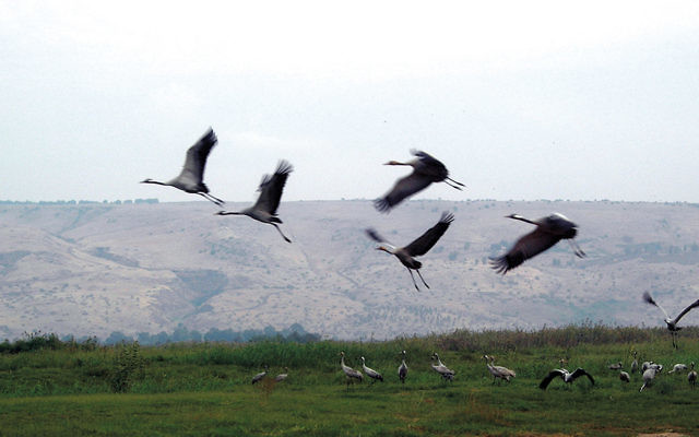 Geese land in the Hula Valley; it's a major stop on their migration south. (Remi Jouan via Wikipedia Commons)