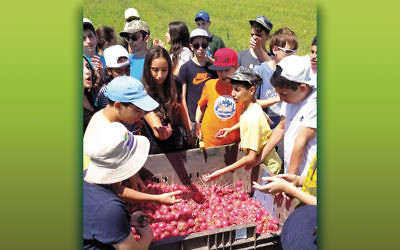 Students from the Gerrard Berman Day School converge over a bin of radishes harvested as volunteers with Leket Israel.