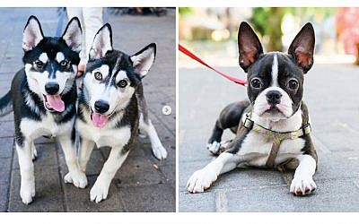 "Left, X & Y, Siberian Huskies (3 m/o), Dizengoff St., Tel Aviv, Israel. ""They're opposites. X is dominant, Y is submissive."" Chucha, Boston Terrier (3 m/o), Schlomo Right, HaMelekh & King George St., Tel Aviv, Israel. ""I'm not really familiar with dogs, but she came into my life and everything became the opposite. She's great."""