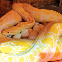 Shayna, a 12-foot albino Burmese python, with her recent batch of 38 eggs.