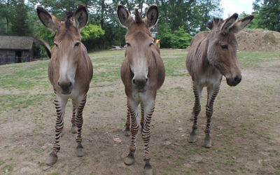 "One of Michael Steinhardt's more unique possessions is his group of zedonks, the offspring of a zebra and a donkey that he calls ""zonkeys."" (Ben Sales)"