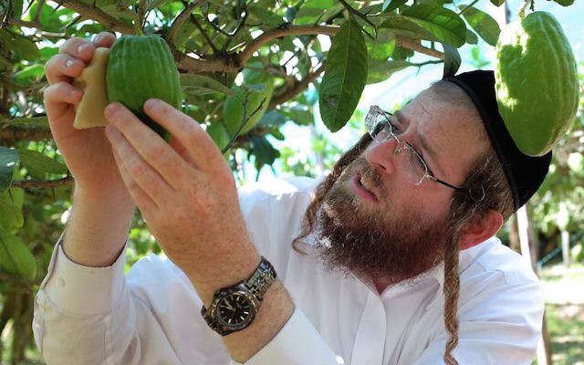 Samuel Ekstein from New York City inspecting a citron fruit in Santa Maria Del Cedro, southern Italy, Sept. 14, 2016. (Alberto Pizzoli/AFP/Getty Images)