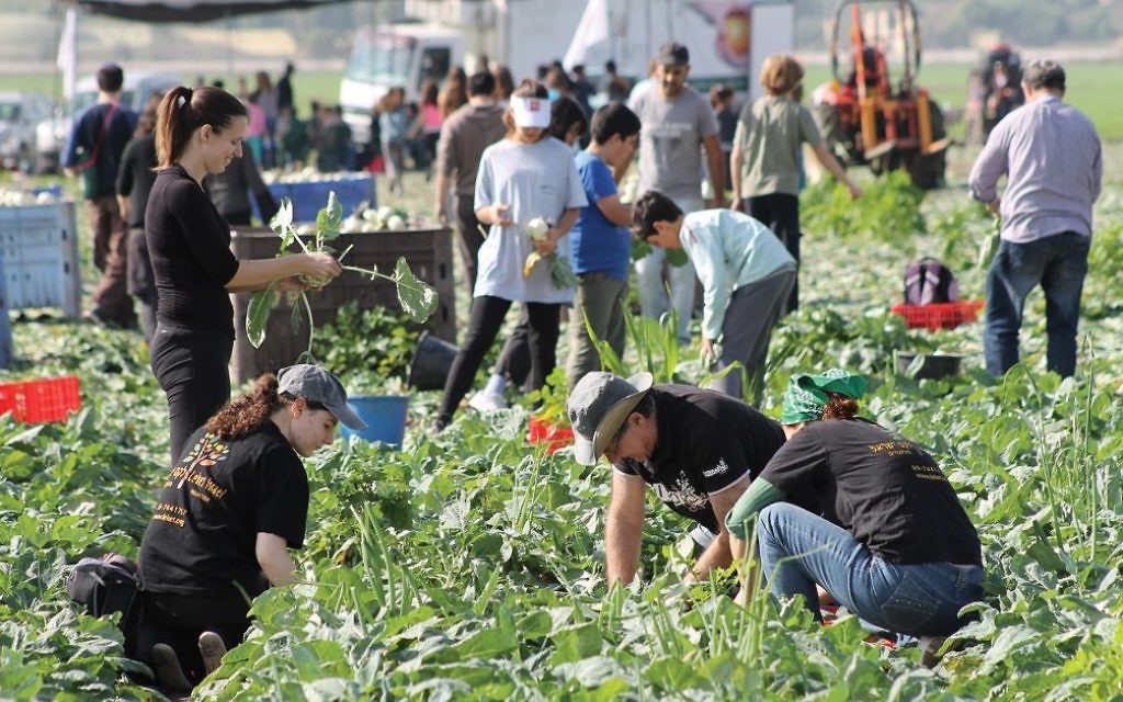 Many of the 56,000 volunteer who glean and package produce and food for Leket, Israel's national food bank and rescue organization, are millennials. Courtesy of Leket