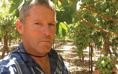 Gil Shatsberg in his Recanati vineyard with marawi grapes. Courtesy of Recanati
