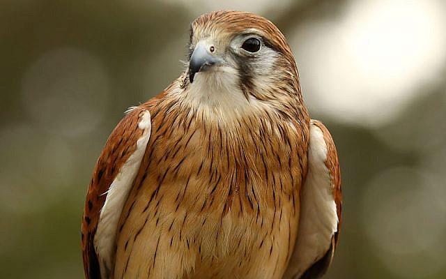 A kestrel falcon seen in Sydney, Australia. (Mark Kolbe/Getty Images)