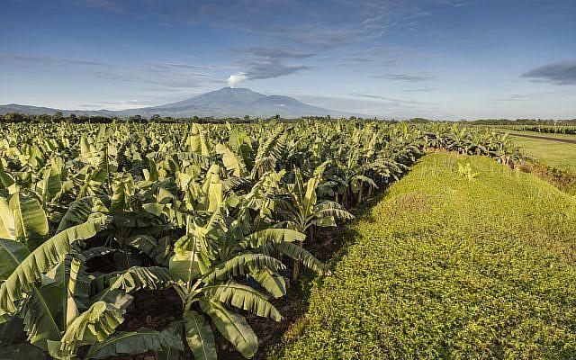 Banana plantain in Costa Rica. Wikimedia