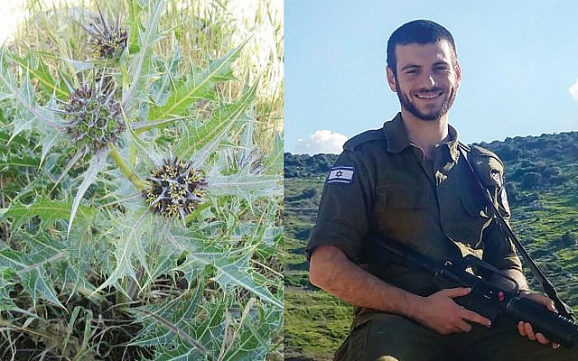 SAR grad and IDF soldier Yonatan Rabinovitch: Cultivating the akoub weed. Wikimedia Commons Courtesy of Yonatan Rabinovitch