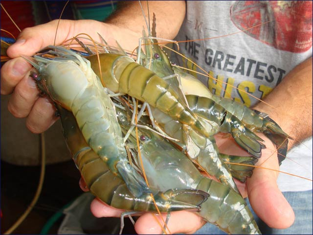 These are male prawns, which are meatier and more abundant than female ones.